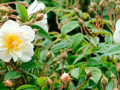 Roser som klatrer