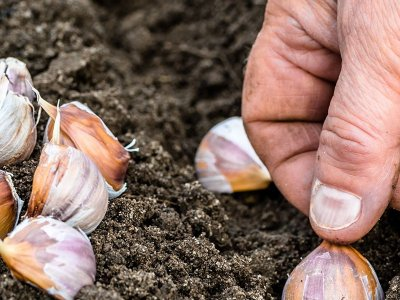 Økologiske hvidløg klar til hjemmedyrkeri.